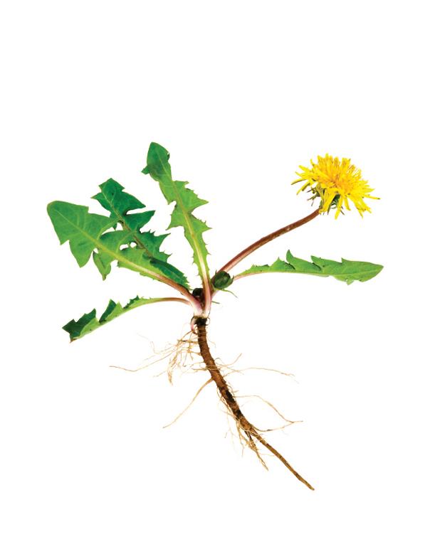 Így fogyhatsz gyógynövényekkel – a bükki füvesember karcsúsító tanácsai - Kiskegyed