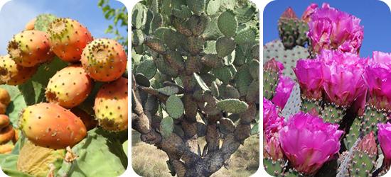 Kaktusz kivonat fogyókúra lilu