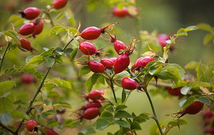 A máj méregtelenítése: 8 gyógynövény, ami segíti a fogyást - Fogyókúra | Femina