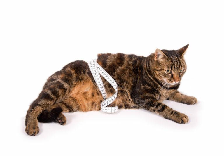 fogyás macska